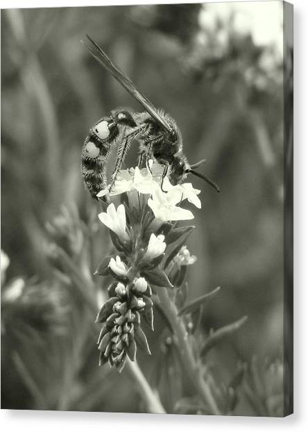 Hunter Wasp On Heliotrope Canvas Print
