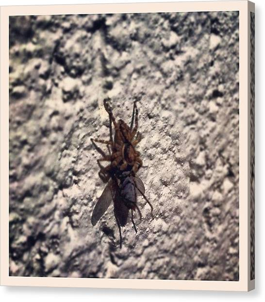 Spiders Canvas Print - #hunting #spider #fly On The #wall by Nilson Almeida