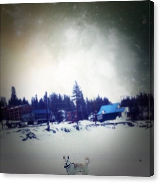 Wolves Canvas Print - #husky #petsofinstagram #snow #wolf by Lydia Campisi