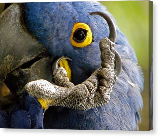 Hyacinth Macaw Canvas Print