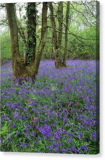 Hyacinthoides Nonscriptus. Canvas Print by Bob Gibbons
