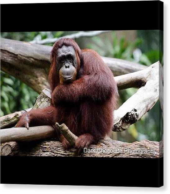 Orangutans Canvas Print - I Am Shy Orang Utan Singapore Zoo by Zachary Voo