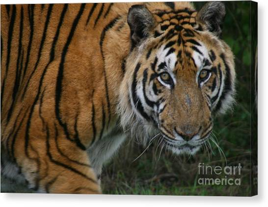 I Am Watching You Canvas Print by Carol Wright