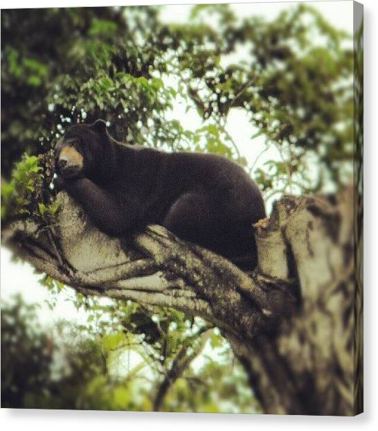 Bears Canvas Print - I Caught This #bear Taking A Nap In The by Travis Albert