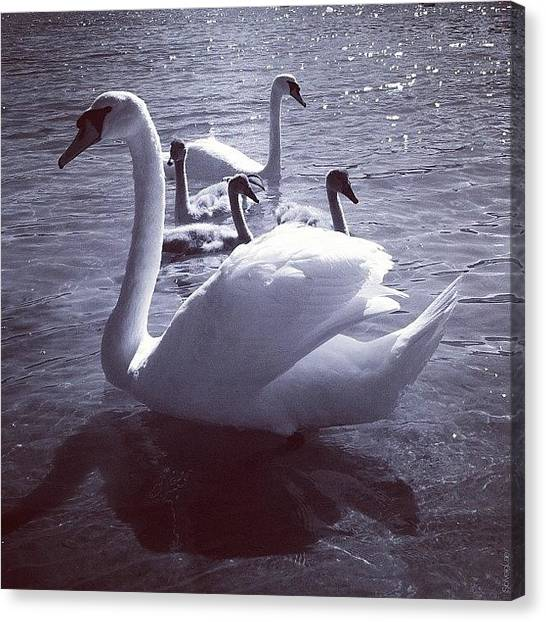 Swans Canvas Print - I Just Fell In Love With This Gorgeous by Solveig Lae