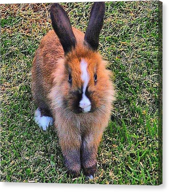 Rabbits Canvas Print - I Met This Beautiful Little Guy At The by Vicki Damato