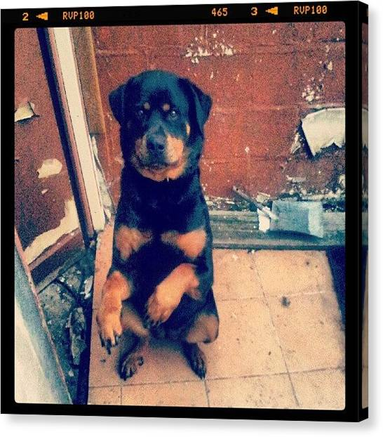 Rottweilers Canvas Print - I Need Food. Pls by Branchard  Arnaud