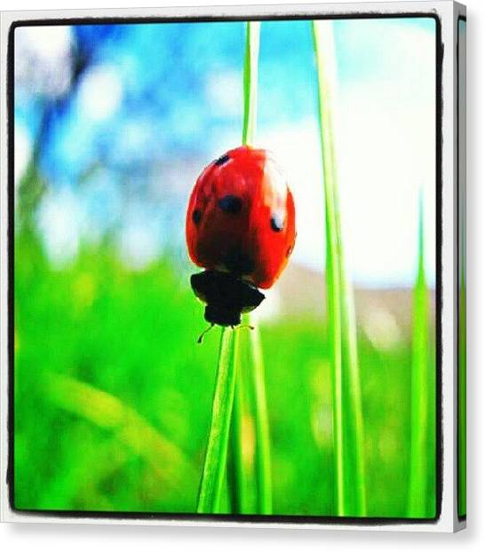 Ladybugs Canvas Print - I Wish The Picture Quality Wouldnt Drop by Elisa B
