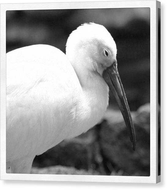 Ibis Canvas Print - Ibis In Bw by Justin Connor