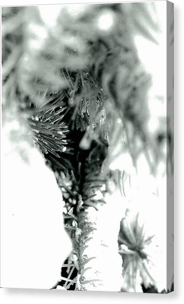 Iced Needles Buried In Snow Canvas Print by Suzanne Fenster