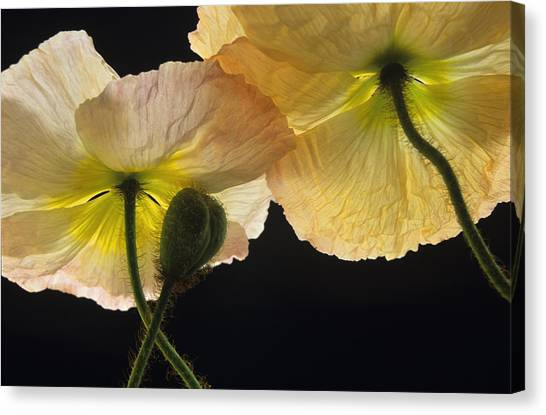 Iceland Poppies 2 Canvas Print