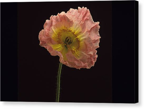 Iceland Poppy 3 Canvas Print