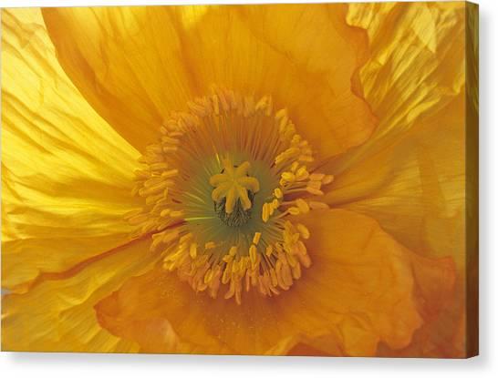 Iceland Poppy 4 Canvas Print
