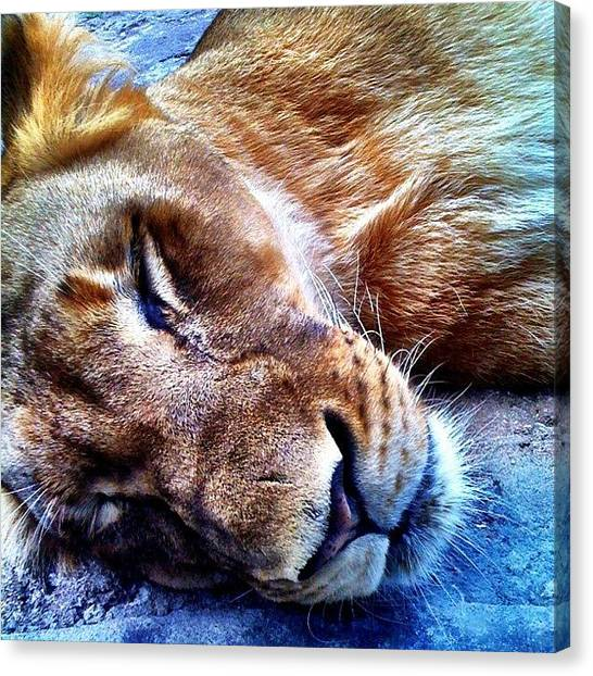Lions Canvas Print - #igdaily #igers #instagood by Matt Turner