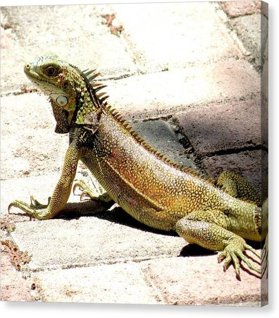 Iguanas Canvas Print - #iguana #ilovearuba #aruba #arubasun by Marian  Alleva