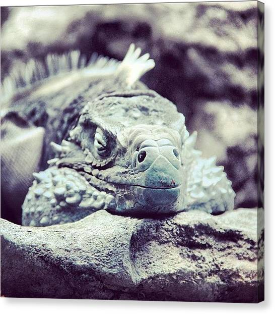 Iguanas Canvas Print - Iguana!!! #lizard #shedd #aquarium by Xander N