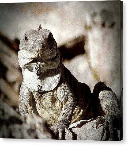 Lizards Canvas Print - #iguana #protector Of #uxmal #ruins In by Yannick Menard