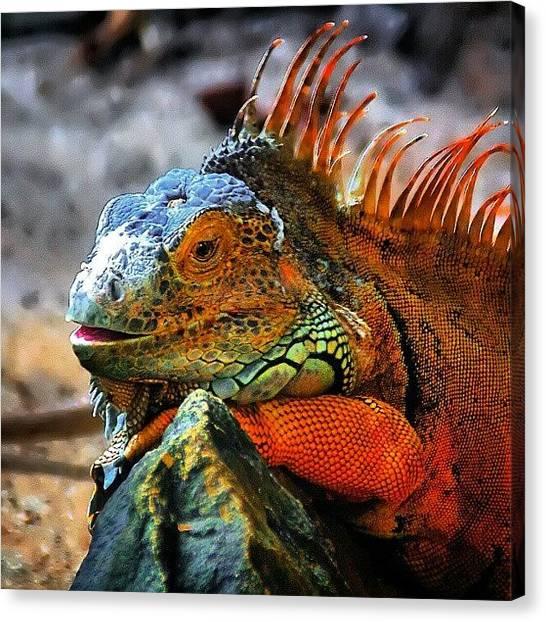 Iguanas Canvas Print - Iguana by Rahman Galela