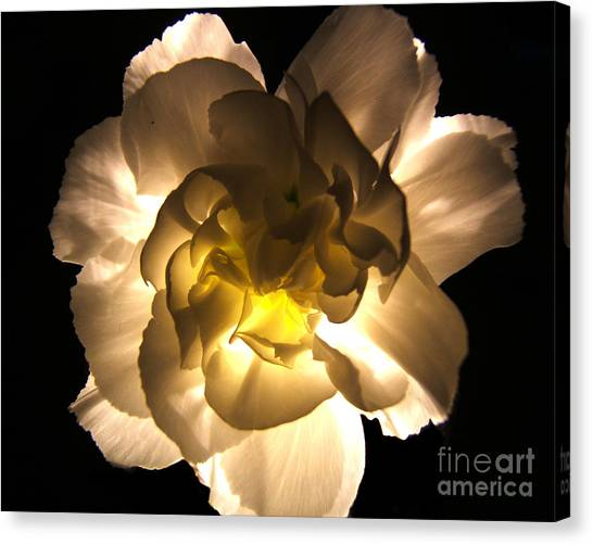 Illuminated White Carnation Photograph Canvas Print