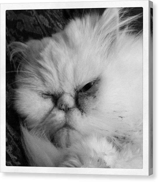 Persians Canvas Print - I'm A Night Owl by Mike Maginot