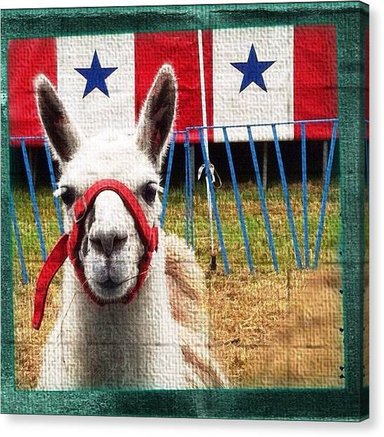 Llamas Canvas Print - I'm Trying Hard To Get An Authorized by Valnowy Photography