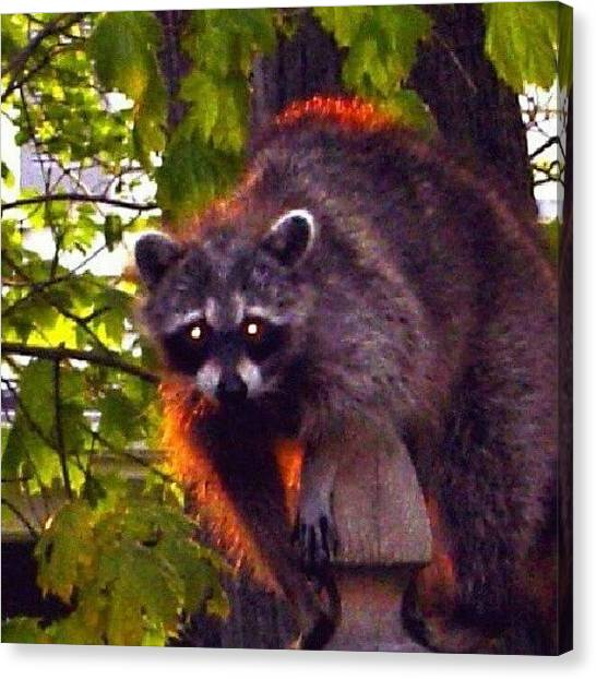 Raccoons Canvas Print - I'm Watching You #raccoon #animals by Kegan Piper