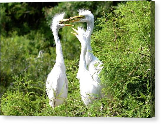 Immature Egrets Canvas Print