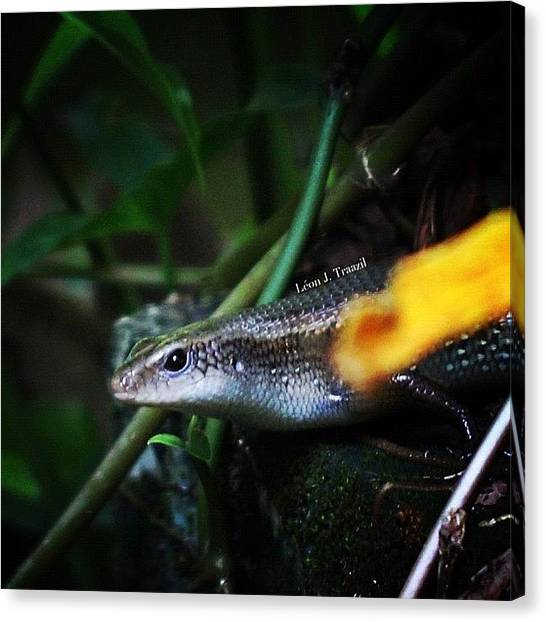 Lizards Canvas Print - In A Skink Of An Eye, It Disappeared by Leon Traazil