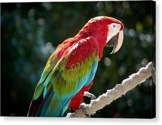 In All His Finery Canvas Print