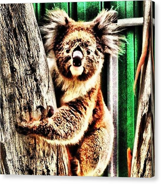 Bears Canvas Print - In My Front Yard. Repost W Edit. #koala by Cherie Harvey