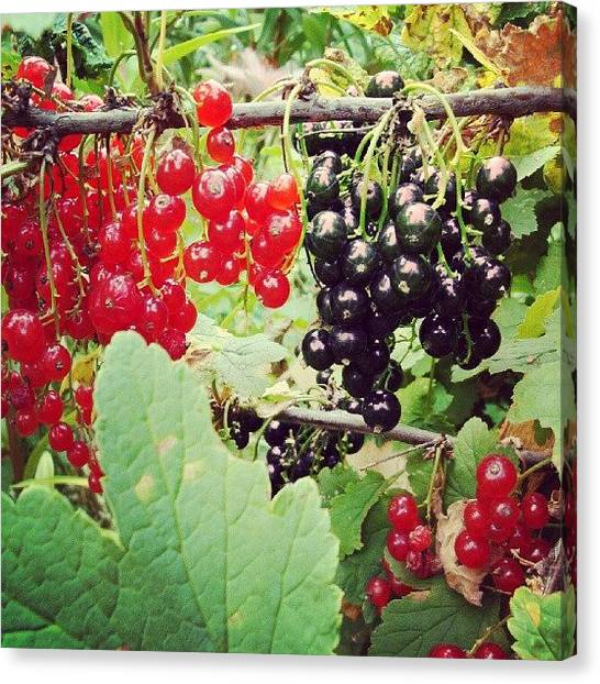 Berries Canvas Print - In Russia, On The Same Bush Grows Black by Igor Che 💎