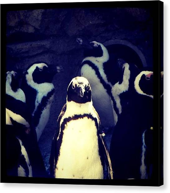 Penguins Canvas Print - In The Spotlight #penguin #zoo #summer by Jessie Schafer
