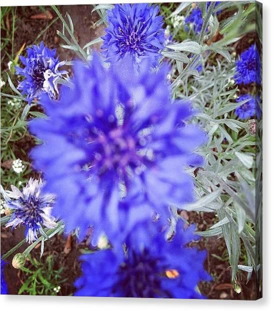 Santa Monica Canvas Print - Indigo Blue Flowers by Lana Rushing