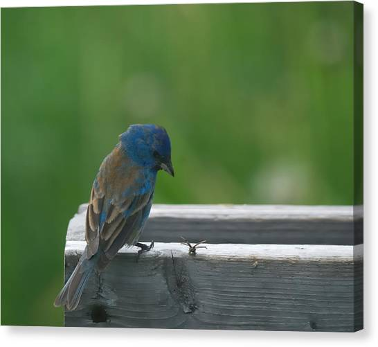 Bunting Canvas Print - Indigo Bunting And Friend by Susan Capuano