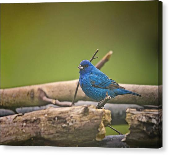 Buntings Canvas Print - Indigo Bunting by Susan Capuano