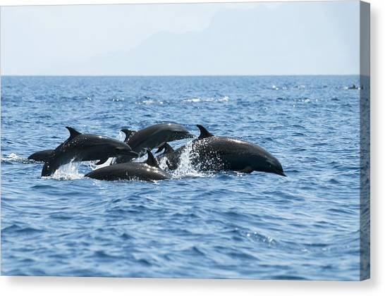 Bottlenose Dolphins Canvas Print - Indo Pacific Bottlenose Dolphins by Louise Murray