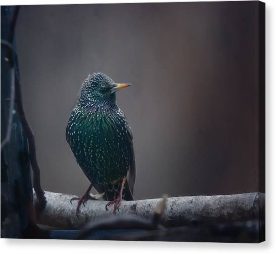 Starlings Canvas Print - Infamous by Susan Capuano