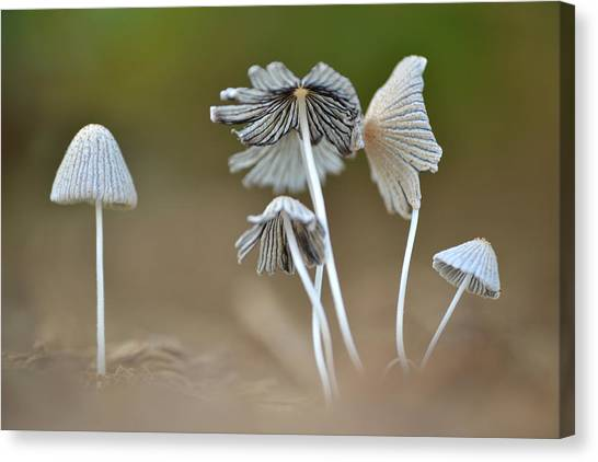 Ink-cap Mushrooms Canvas Print