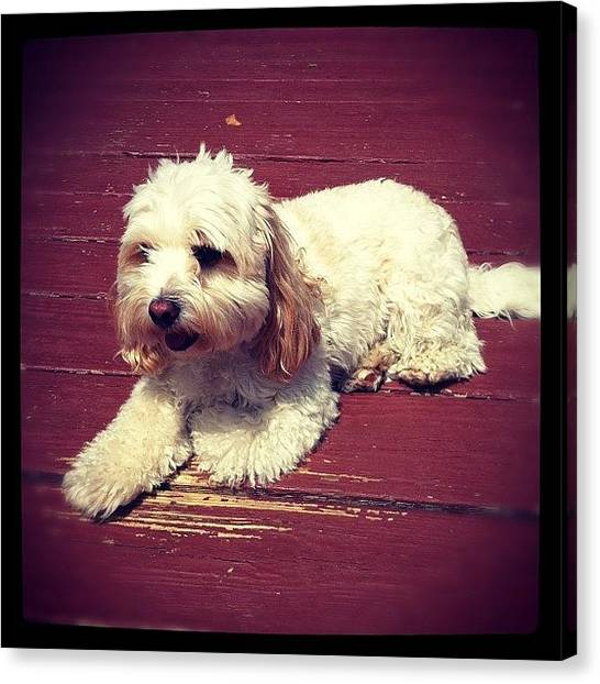 Princess Canvas Print - #instadog #ff #sunbath #charles #dog by Kristin Hecker