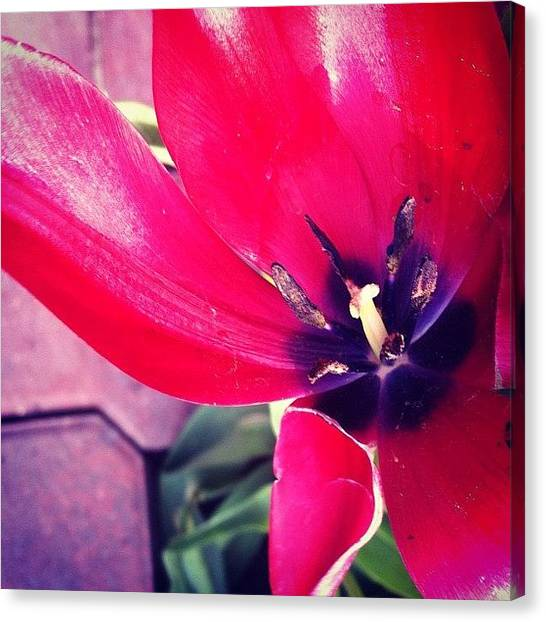 Tulips Canvas Print - #instagood #gmy #vop #iphoneography by Jenni Munoz