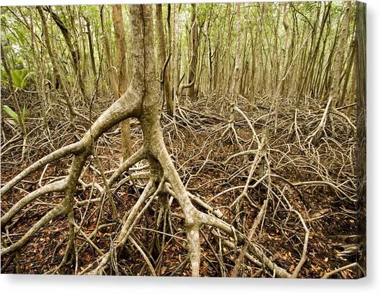 Mangrove Trees Canvas Print - Interior Views Of Tall Mangrove Forest by Tim Laman