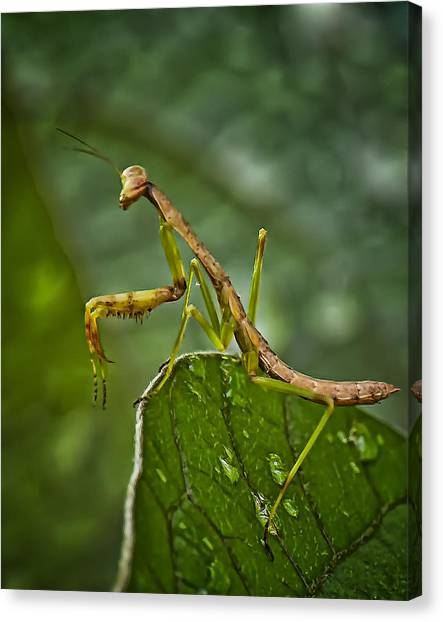 Invasion Of The Insect Snatcher Canvas Print by Michael Putnam