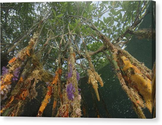 Mangrove Trees Canvas Print - Invertebrate Life Growing On The Roots by Tim Laman