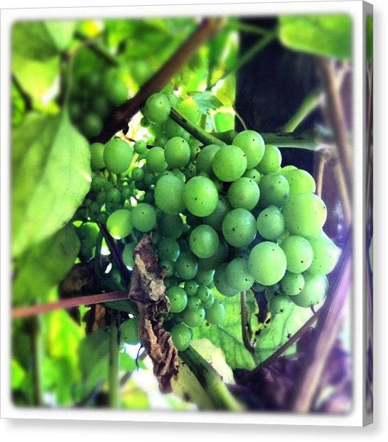 Grapes Canvas Print - #iphoneography #lux #grapes #mygarden by Baz Twyman