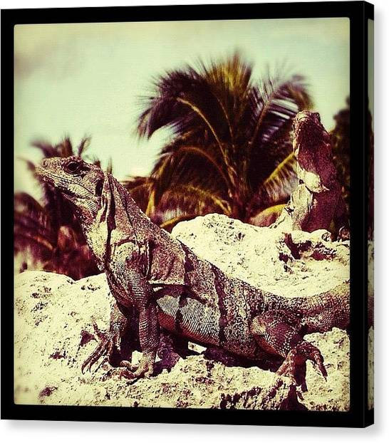Iguanas Canvas Print - #iphoneonly #instadaily #instahub by Vicente Marti