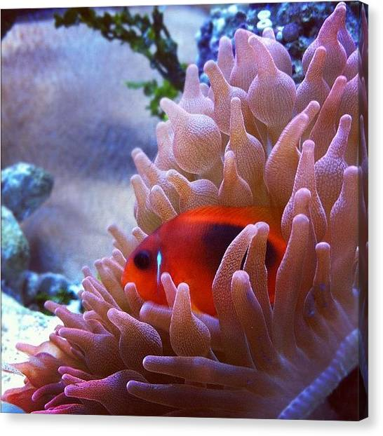 Tropical Fish Canvas Print - #iphonephoto #iphonepic #ocean by Daniel Corson