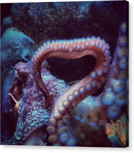 Octopus Canvas Print - #iphonephoto #oceanlife #aquarium by Daniel Corson