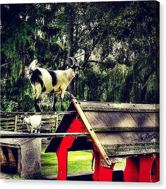 Goats Canvas Print - #iphonesia #instagood #photooftheday by G B