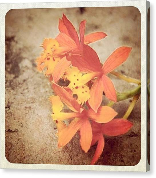 Orchids Canvas Print - #iphonesia #iphoneography #flower by Sherri Galvan