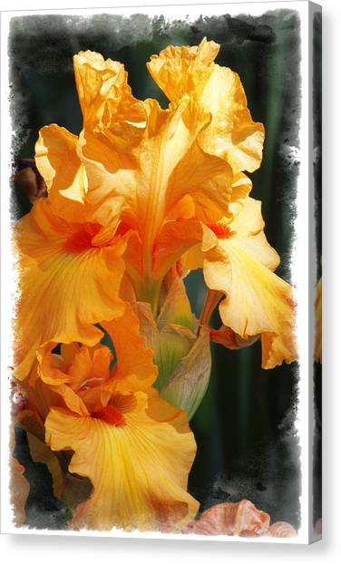 Iris Canvas Print by Judy Deist